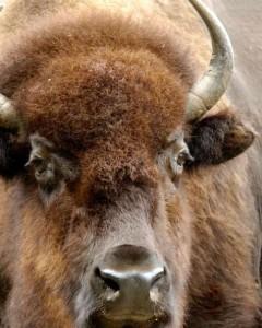 American Bison Bron: http://bronxzoo.com